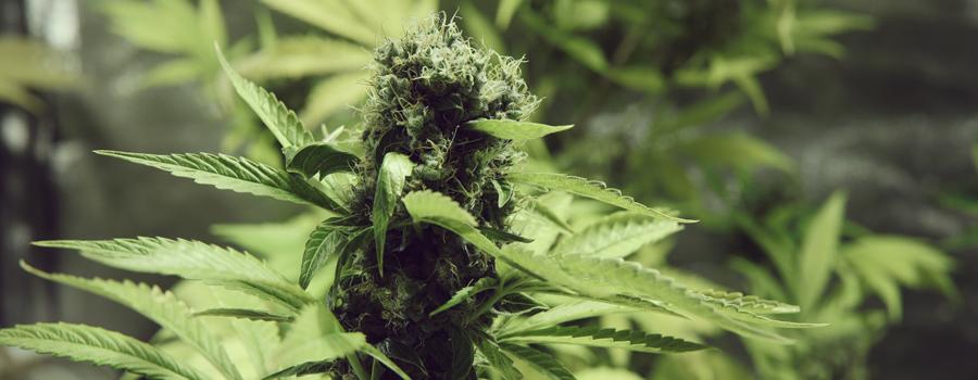 Northern Light cannabis insomnia
