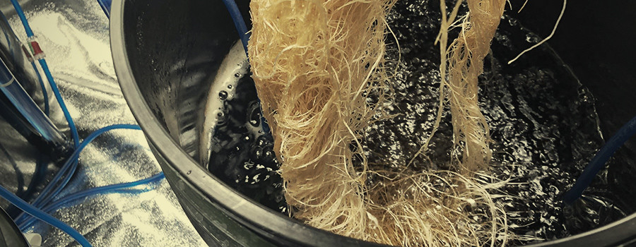 Cannabis Hydroponic Roots