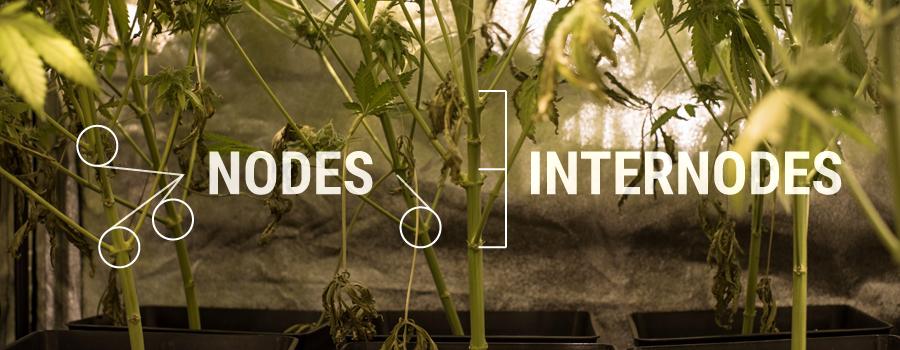 Nodes Internodes Cannabis Plant Structuur