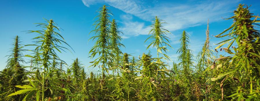 Permacultuur landbouw cannabis natuurlijke integratie Combinatieteelt