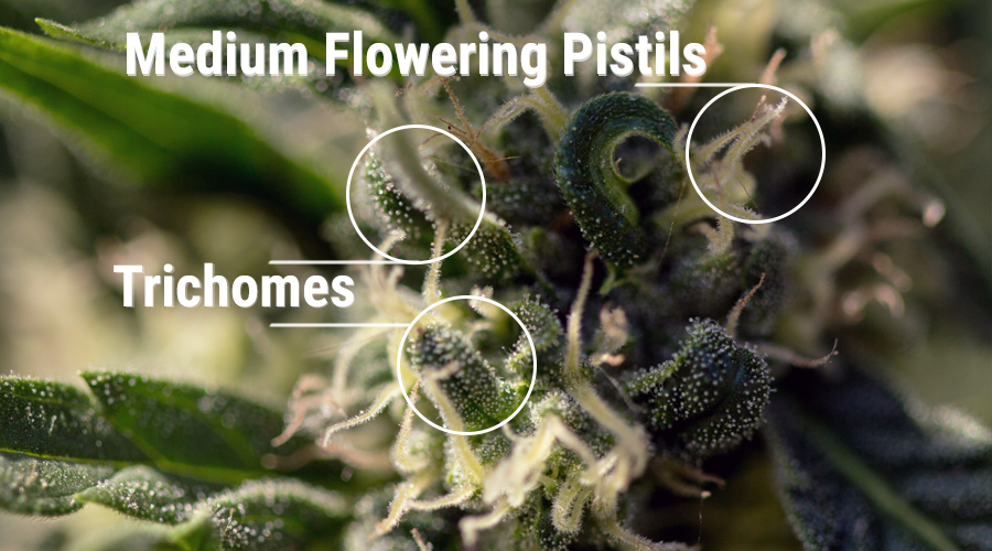 stempels cannabisbloem stampers cannabinoiden