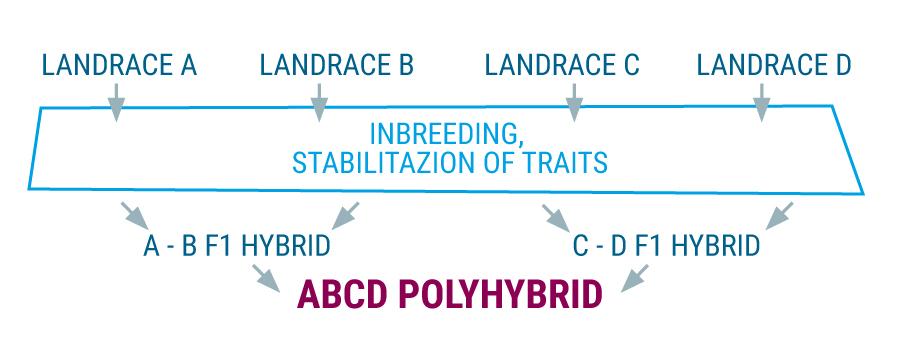 Polyhybrid landrace cannabis stammen