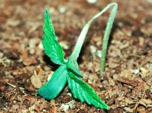 Pythium schimmel planten cannabis probleemdetectie