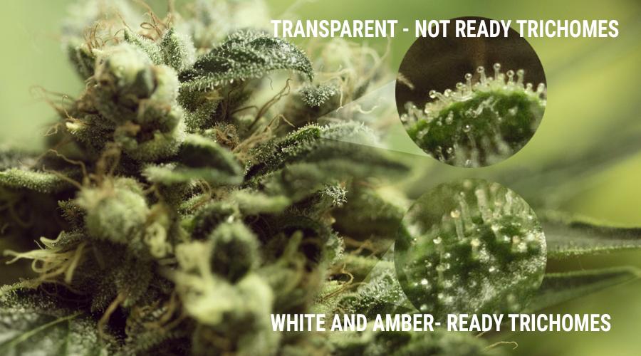 trichomen teelt schimmels marihuana uv licht kelk bud cannabis