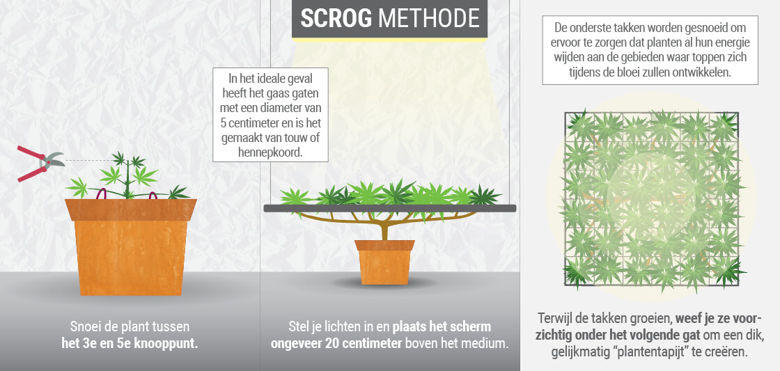 Het kweken van cannabis met de SCROG (Screen of groen) methode