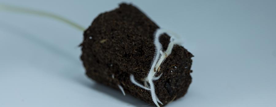 Wortels voedingsstoffen ademen cannabis plant