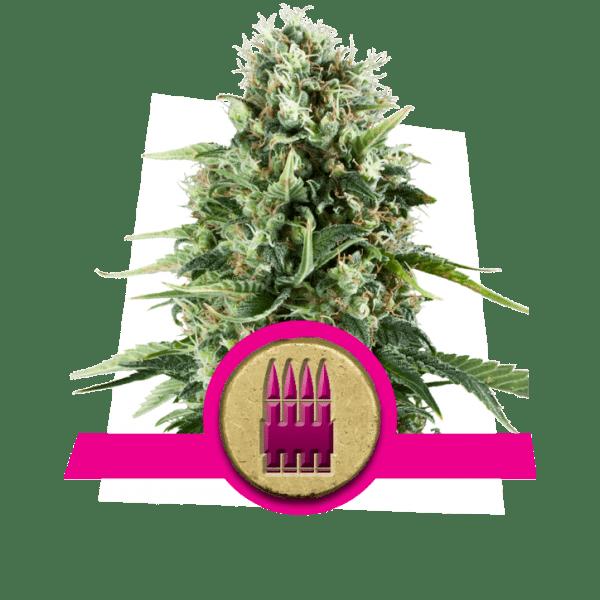 Royal Ak dopamine niveaus creativiteit cannabis stammen te stimuleren te verhogen frontale kwab correlativity studie divergent denken novelty-seeking
