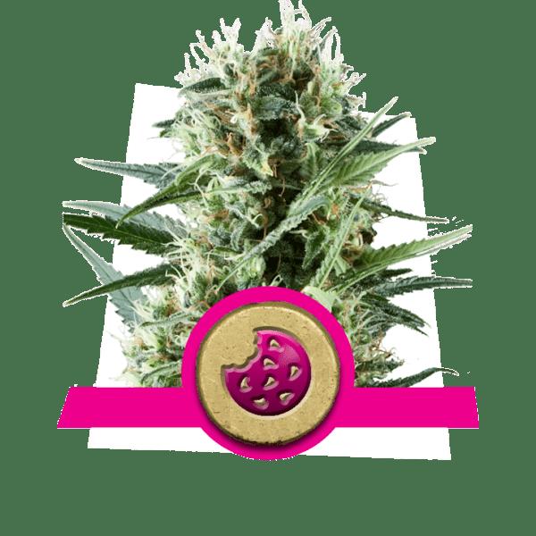 Royal Cookies dopamine levels creativiteit cannabis soorten boost verhoog frontaal kwab correlativity studie afwijkende ideeën nieuwheid te zoeken?