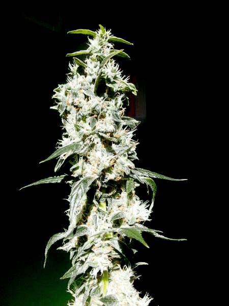 Royal Jack Auto Cannabis Soorten voor Beginners