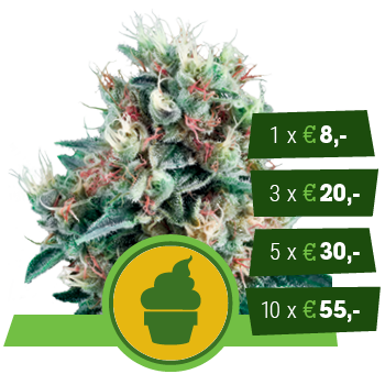 Royal Creamatic Royal Queen Seeds