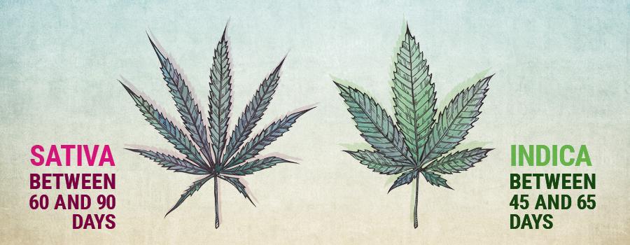 Vegetatieve groei sativa en indica