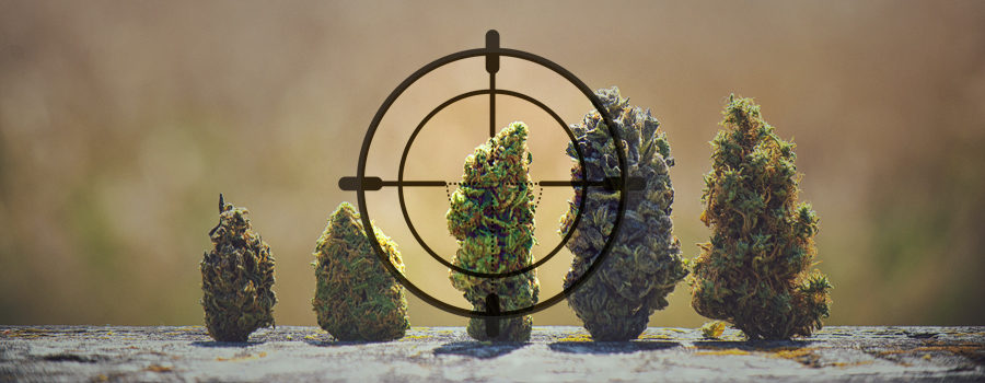 DNA stam jager cannabis landrace India Pakistan Kush Afghanistan Afrika Jamaica