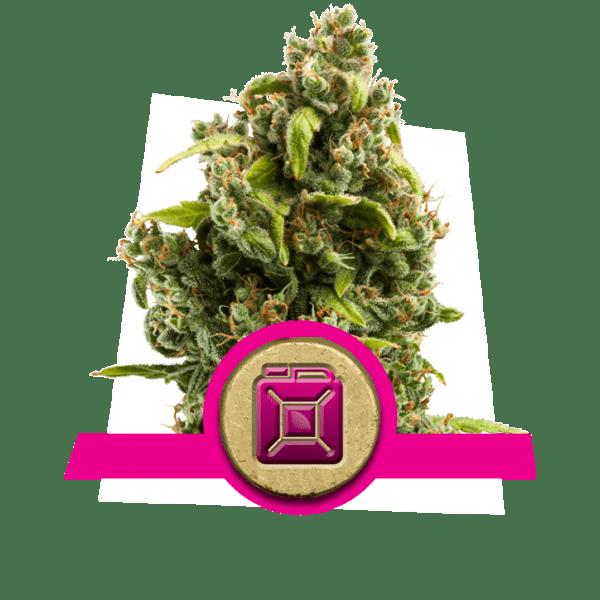 Sour Diesel dopamine niveaus creativiteit cannabis stammen te stimuleren te verhogen frontale kwab correlativity studie divergent denken novelty-seeking