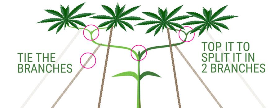 main-lining techniek cannabis teelt