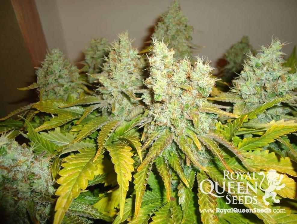 White Widow Feminized Cannabis Strains