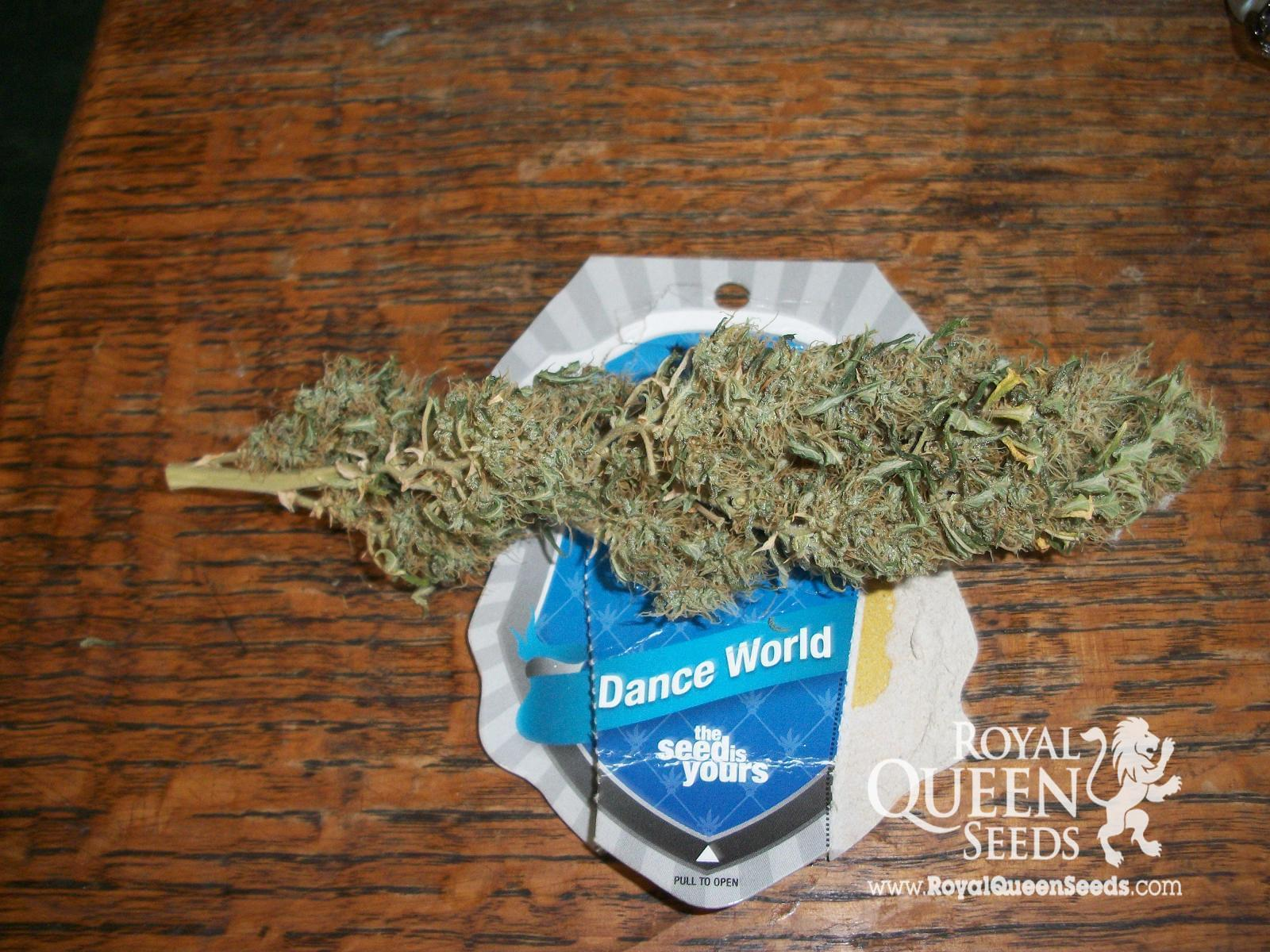 Dance World CBD cannabiszaad
