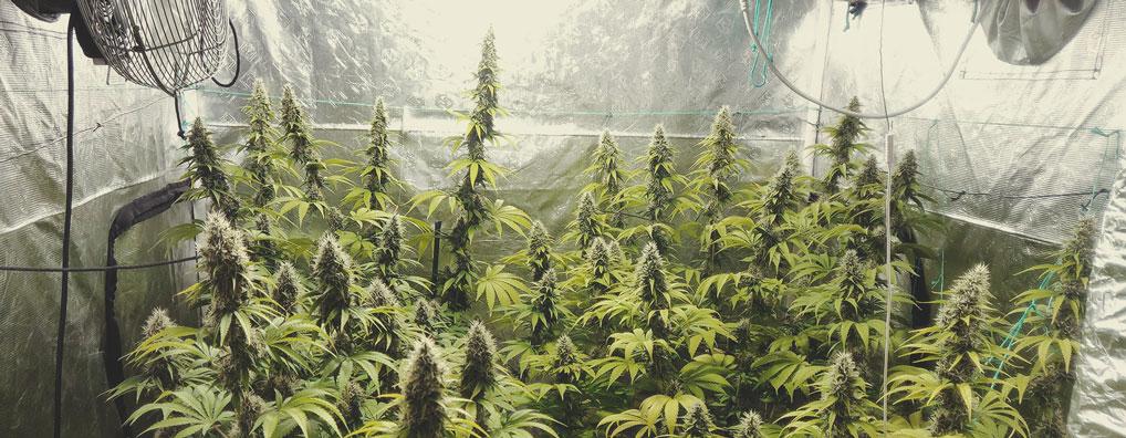 Top 10 Most Popular Feminized Cannabis Strains