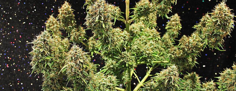 Amnesia Haze Cannabis Warmere Klimaten