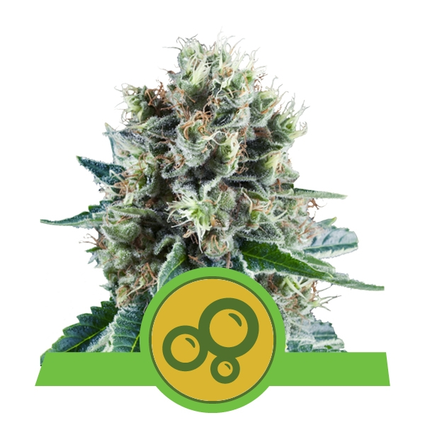 Bubble Kush Automatic Royal Queen Seeds