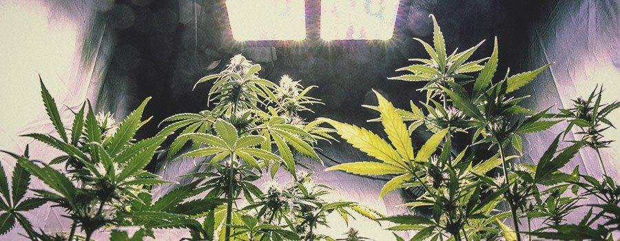 Kunnen we de productie van cannabinoïden, terpenen of flavonoïden in de plant verhogen?