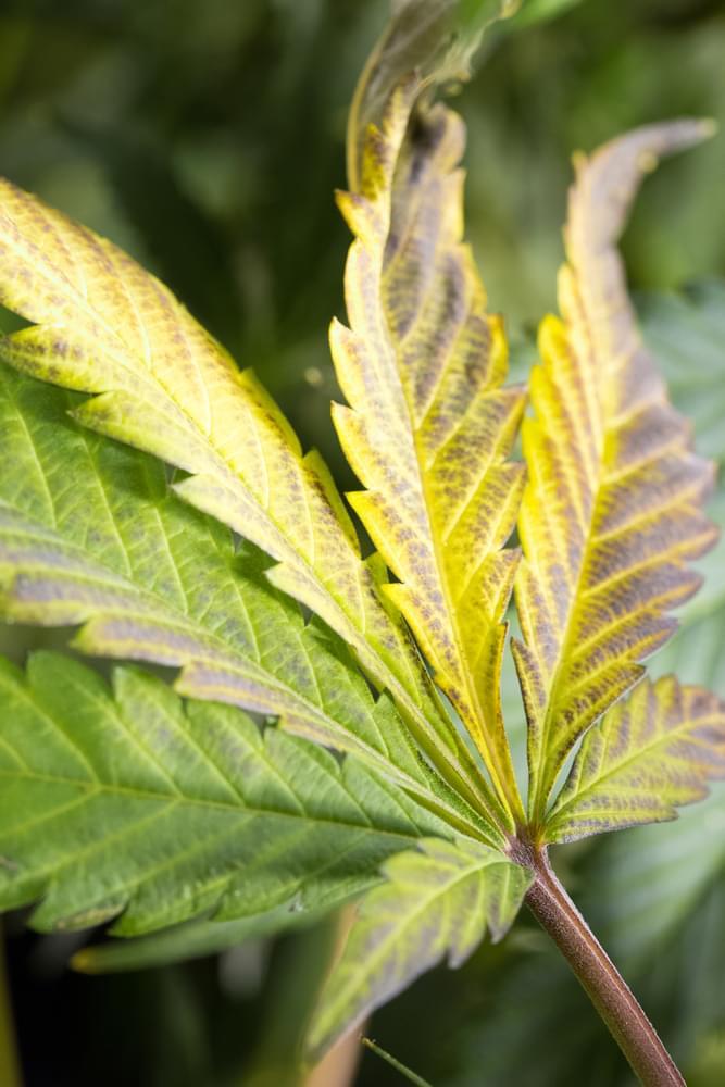 cannabis blad overwatering voedingsstoffen voeden roots
