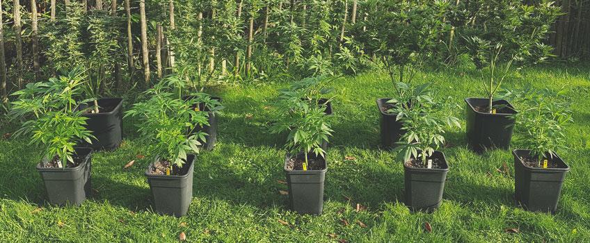 Chemovar / chemotype / cultivar / strain