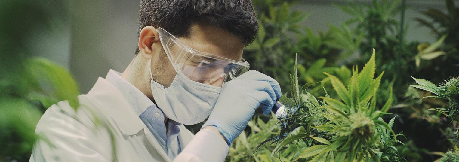 Cannabisonderzoek staat nog in de kinderschoenen
