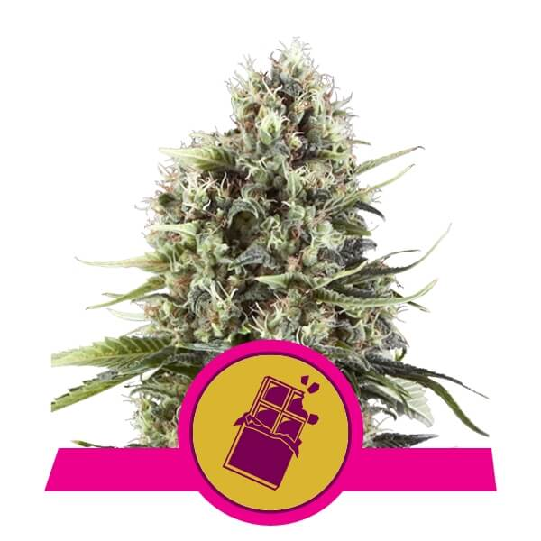 Chocolate Haze