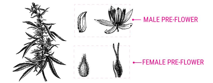 Cannabis pre-bloem illustratie