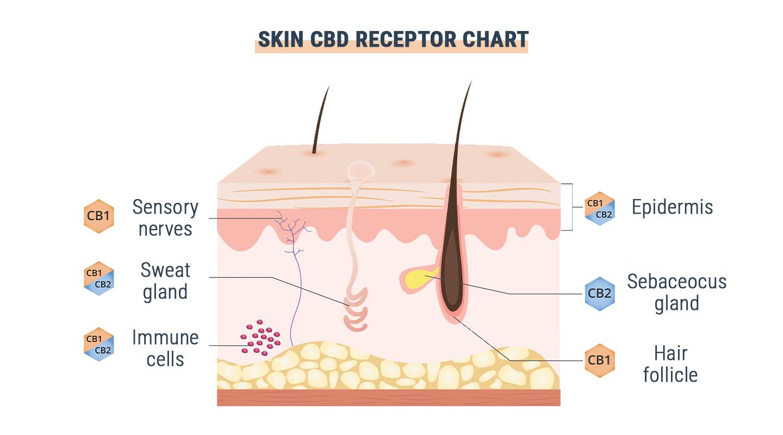 GPR55: de derde cannabinoïdereceptor?