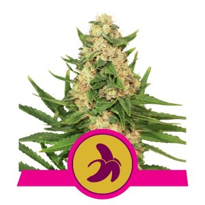 Fat Banana Marijuana Royal Queen Seeds