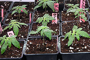 Indoor marijuana grow first week