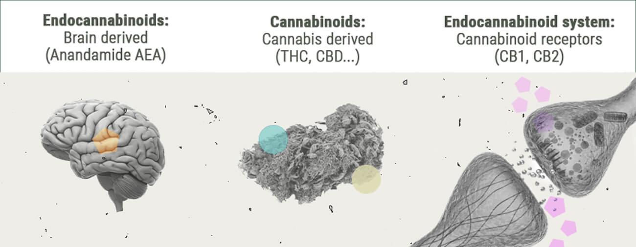 De Chemie van de Cannabis-high