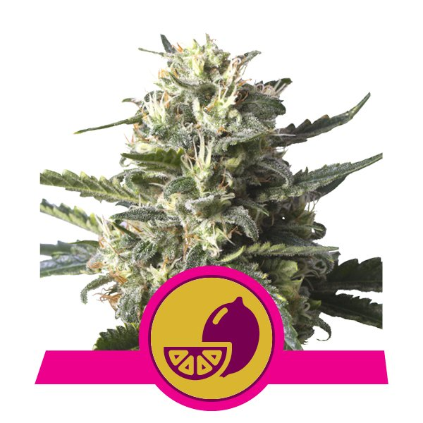 LEMON SHINING SILVER HAZE