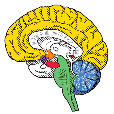 The brain and cannabis receptors