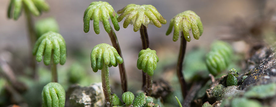 Other cannabinoids plants liverworts_1