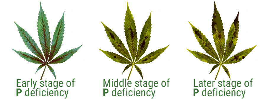 phosphorus deficiency symptoms cannabis cultivation