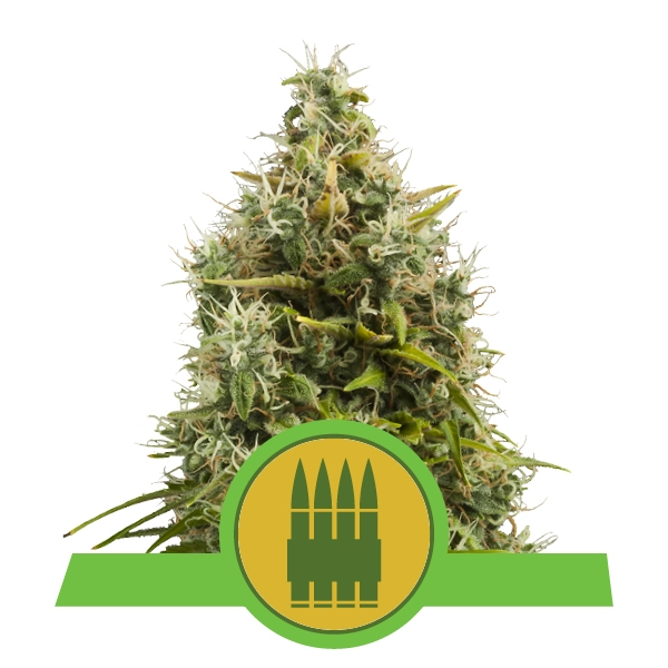 Royal AK Automatic Royal Queen Seeds