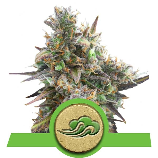 https://www.royalqueenseeds.nl/129-royal-bluematic.html