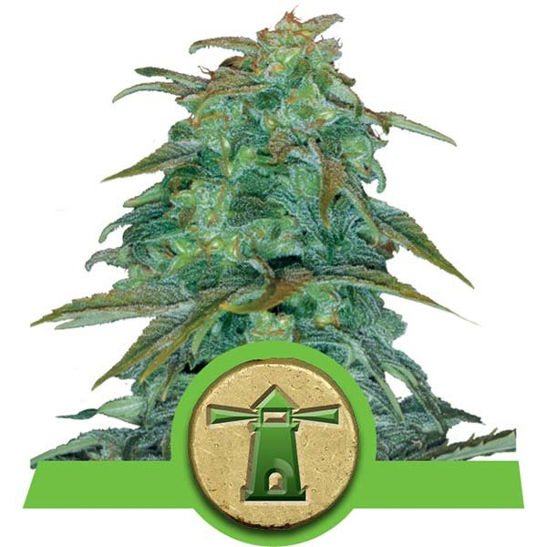 Royal Haze Auto Royal Queen Seeds Autoflowering Zaden Cannabis Soorten
