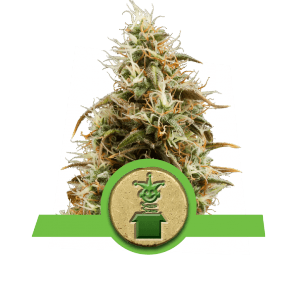 Jack Herer autoflowering Sativa pittige