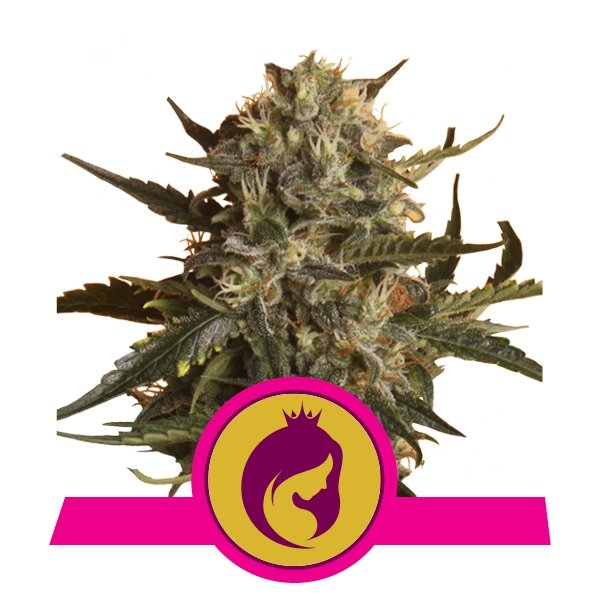 Royal Madre Feminized