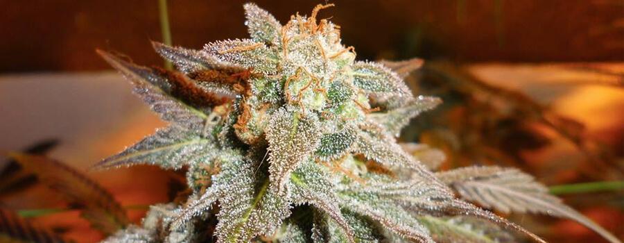 Royal Moby Cannabis Warmere Klimaten