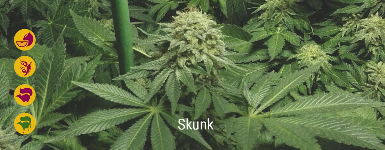 Beste Skunk-wietsoorten