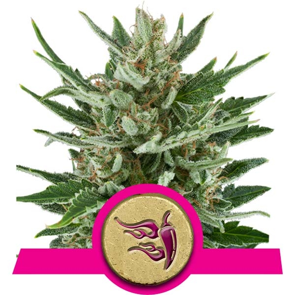 Speedy Chile Fast Flowering Royal Queen Seeds