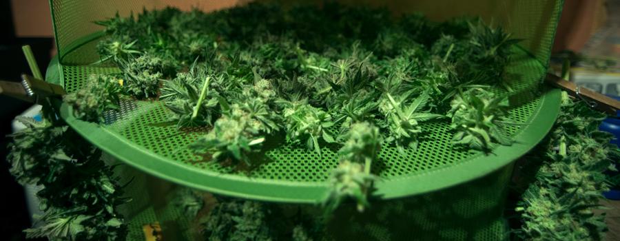 Cannabis knop