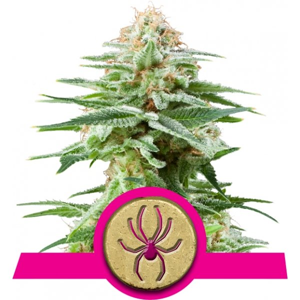 White Widow Royal Queen Seeds