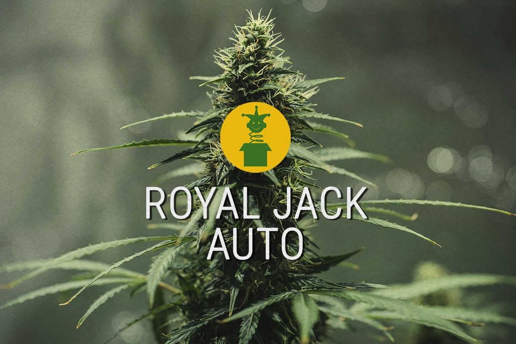 Royal Jack Automatic: Geautomatiseerde sativa-legende
