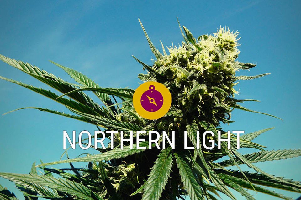 Northern Lights: Een cannabis klassieker en ware indica legende