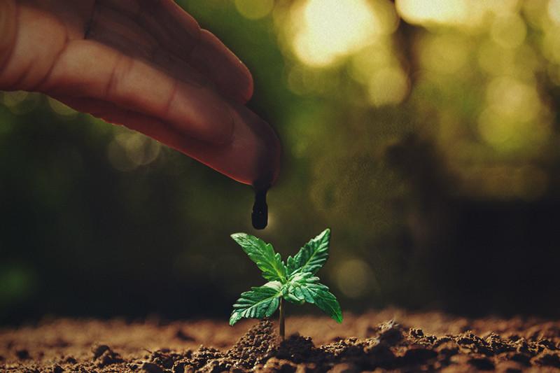 foto de Melasse: een uitmuntend supplement voor cannabisplanten - RQS Blog